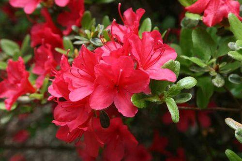 Hino-Crimson
