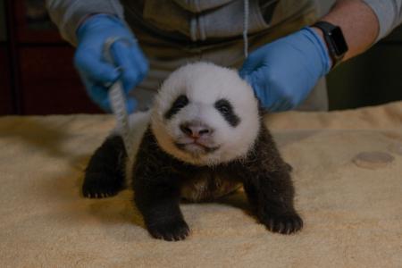 20201014-panda-cub-7-weeks-001